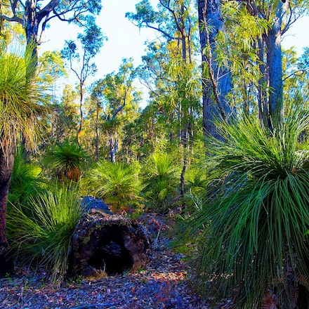 Dwellingup Forest 02 - Typical Australian bush scene with Blackboy and Gum trees.