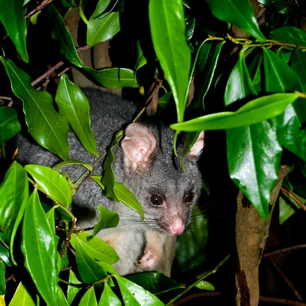 Ringtail_Possum