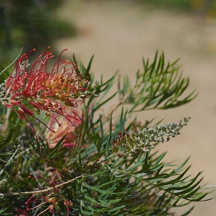 Grevillea - Australian National Botanic Gardens