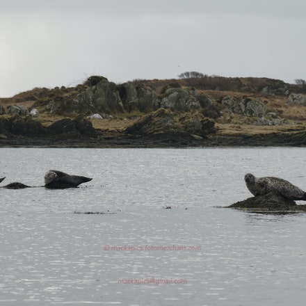Seals on Islay