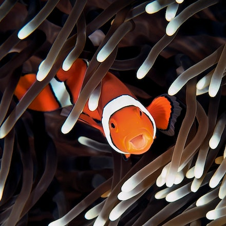 False Clown Anemonefish (Amphiprion ocellaris) on an anemone (Heteractis magnifica). - Copyright © 2015 Melissa Fiene Photography. All rights reserved....