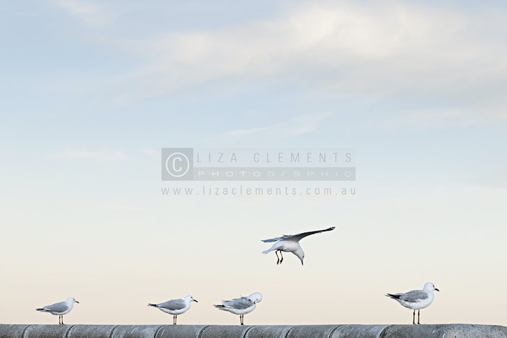 15. Seagulls at Half Moon© - Seagulls at Half Moon, 2013 Open Edition Silver VIPPY Award 2013 AIPP Victorian Professional Photography Awards