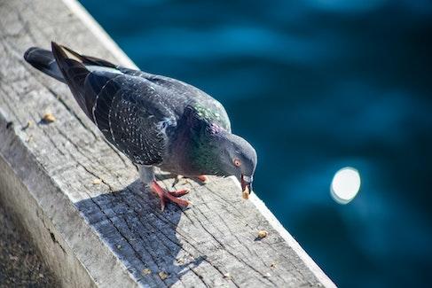Pigeon on The Docks