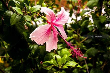 2 - Hibiscus