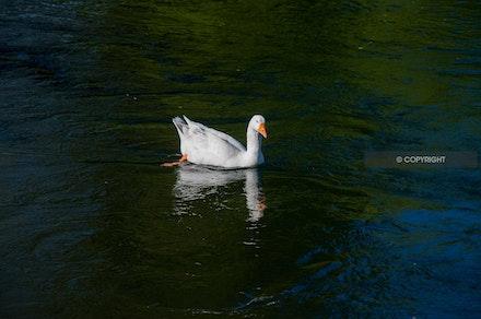 4 - Goose