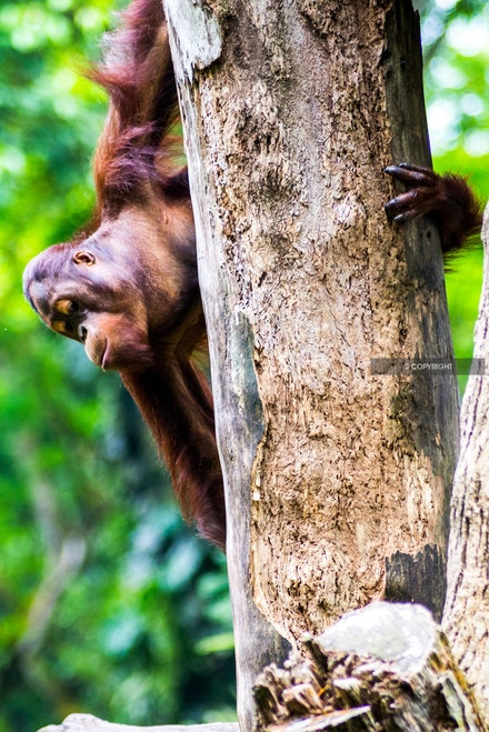 18 - Orangutan