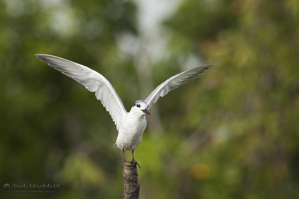 Whiskered tern, Kakadu - Whiskered tern, Cooinda, Kakadu, Northern Territory
