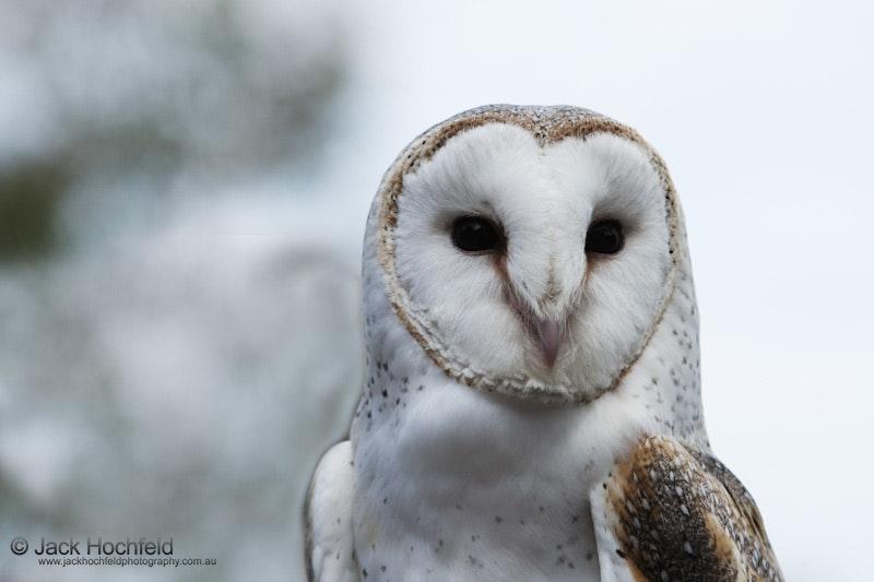 Barn owl, Taronga, Sydney, Australia