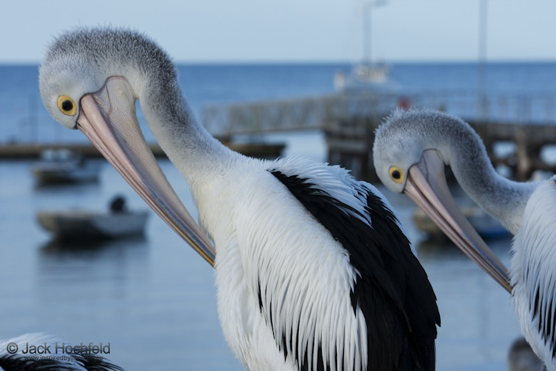 Australian pelicans, Kingscote, Kangaroo Island - Australian pelicans gathered for a daily feed, Kingscote, Kangaroo Island