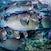 Bumphead parrotfish_7117