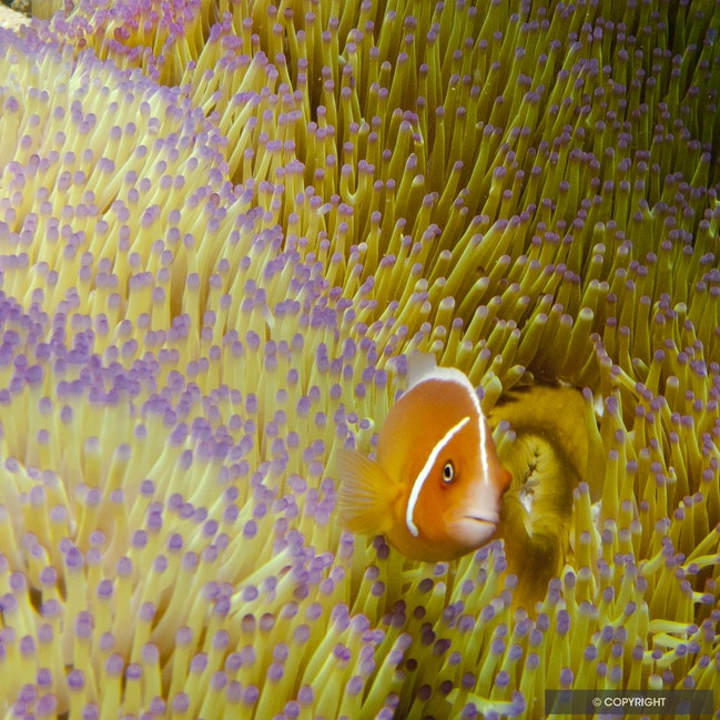 Nemo & Friend - Anemone fish and sea anemone, Lizard Island, Great Barrier Reef, QLD, Australia