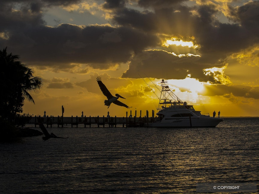 Soaring Pelican Silhouette - A soaring brown pelican is silhouetted against a golden setting sun off Little Palm Island