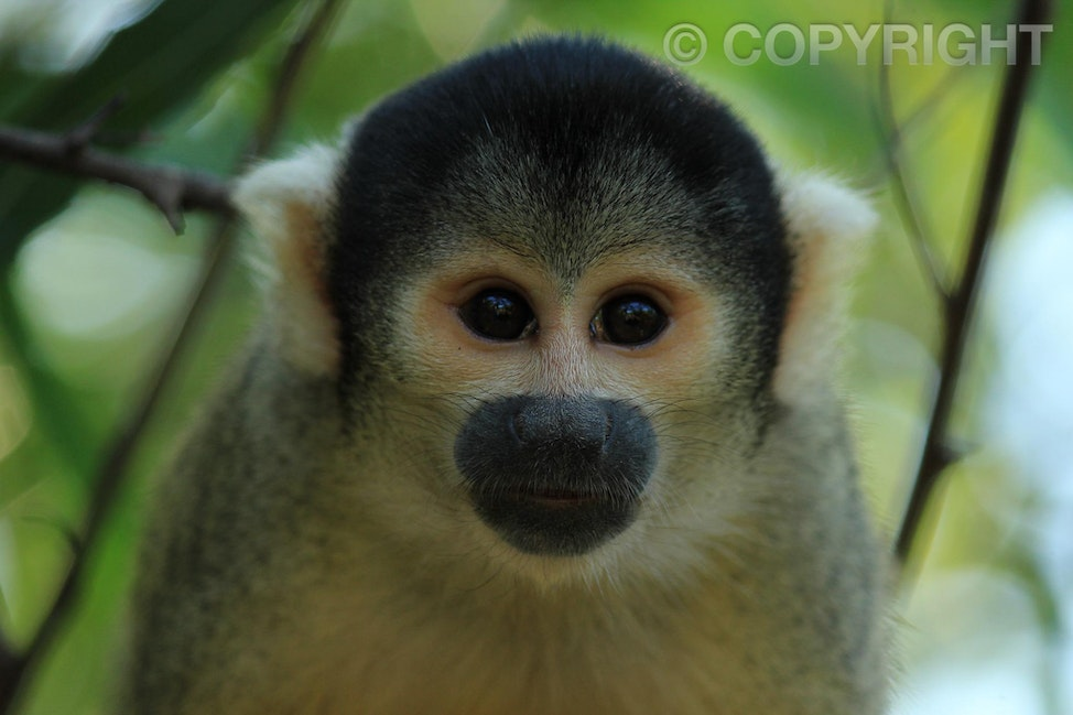 Capuchin Monkey - Madidi National Park, Amazon Basin