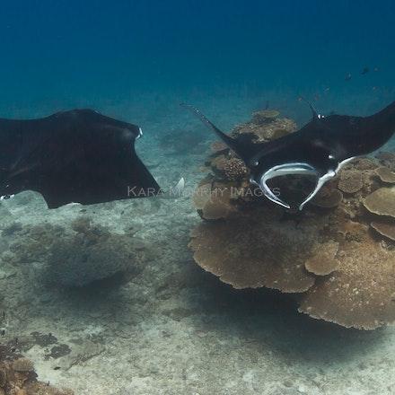 Cleaning station 2, LEI - Reef manta rays (Manta alfredi) swim around a cleaning station off Lady Elliot Island, Australia.