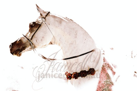 Roses on a Grey - Champion purebred Arabian stallion proudly showing off his Rose Garland awarded at the famous Scottsdale Arabian Horse Show.