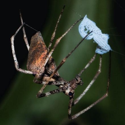 Net casting spider, Deinopis subrufa - Net casting spider, Deinopis subrufa, spiders of the Daintree,  spiders