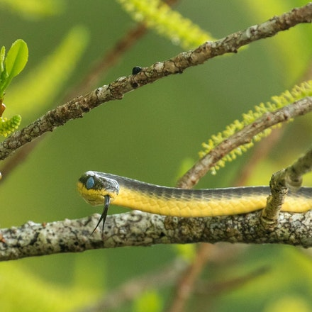 Blind your eye Mangrove,  Excoecaria agallocha,  and Fred the common tree snake. - Blind your eye Mangrove,  Excoecaria agallocha,  and Fred the common...