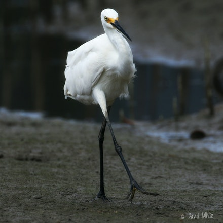 Little Egret, Egretta garzetta - Little Egret, Egretta garzetta