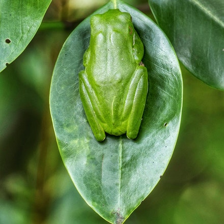 A Green Scene - White lipped resting on a mangrove leaf, camoflagued well