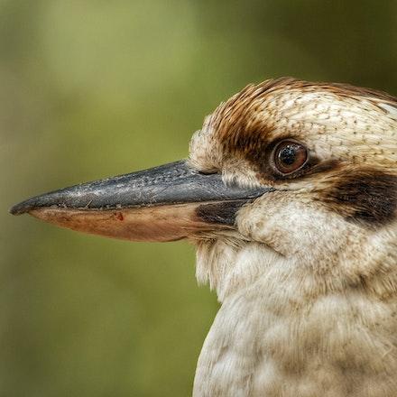 Laughing kookaburra , Dacelo novaeguineae - (press for more images)