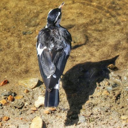 Magpie lark , Grallina cyanoleuca - (press for more images) Magpie lark , Grallina cyanoleuca