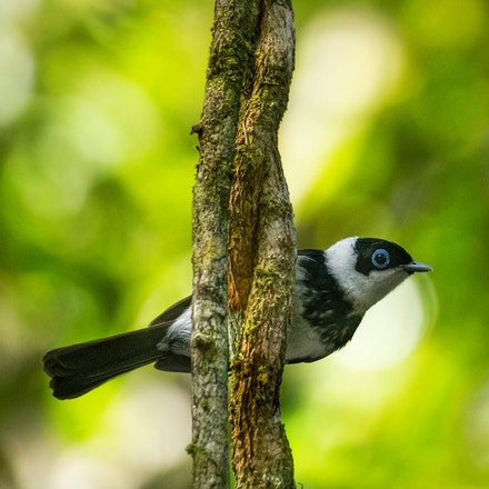 Pied Monarch (Arses kaupi) - (press for more images)