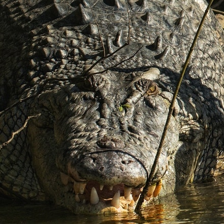 Bungeye - Crocodile