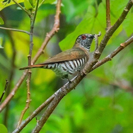 Little (Gould's) Bronze-Cuckoo, Chalcites minutillus russatus - (press for more images) Little bronze-Cuckoo, Chalcites minutillus